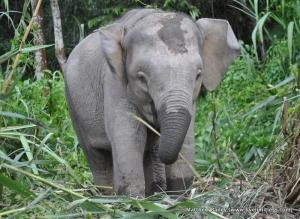 Babyelephant-001